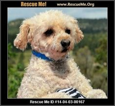 Kenny (male)  Poodle  Age: Adult  Health:Neutered, Vaccinations Current  If you are interested in me, please visit my website, www.breederadoptions.org, go to the Available Dogs page, read my Policies and Procedures, complete Adoption Form for me, and my rescuers will contact you promptly. Hi! My name is Kenny and I am a little Poodle boy who is approximately 8 years old and I weigh 11 pounds. I am still very scared of this big new world so I need someone who will teach me all about…