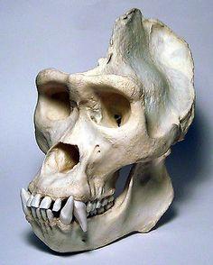 gorilla skull - Google Search