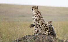 scenic wallpapers, animals wallpapers, africa wallpapers, plain wallpapers, cheetah wallpapers, kitten wallpapers, kitty wallpapers, cat wallpapers, wild wallpapers, cub wallpapers