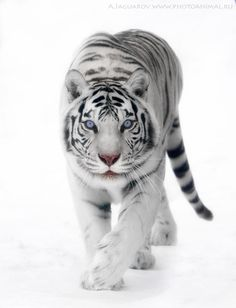 White tiger - White Snow by Anton Jaquars :)