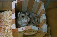 Dexter & Deb  Russian dwarf hamster