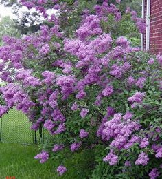 Lilacs in Bloom - a lilac tree/bush smells so good! Boxwood Garden, Cottage Garden Plants, Outdoor Plants, Outdoor Gardens, Purple Flowers, Beautiful Flowers, Front Yard Planters, Lilac Plant, Lilac Tree