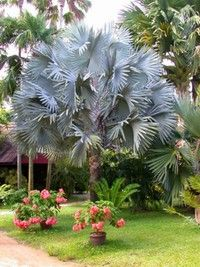 Bismarckia nobilis: Blue Palm 20F, full sun and wind tolerant