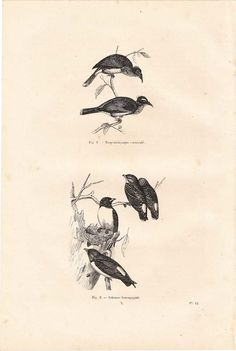 1854  Birds Antique Engraving Tropidorhynque and by carambas SOLD