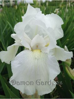 Iris Immortality A gorgeous rebloomer with a fragrance too I'm so excited - I ordered this for my birthday!