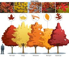 The 15 best trees and shrubs for fall foliage - The Washington Post Gardening columnist Adrian Higgins selects his favorites. Plant one — or more — and do your leaf peeping at home. Backyard Trees, Landscaping Trees, Landscaping With Rocks, Garden Trees, Landscaping Design, Garden Plants, Trees And Shrubs, Trees To Plant, Trees For Front Yard