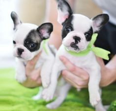 frenchie puppies on st patricks day