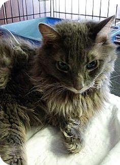 Bronx, NY - Maine Coon. Meet Bridges, a cat for adoption. http://www.adoptapet.com/pet/16367598-bronx-new-york-cat