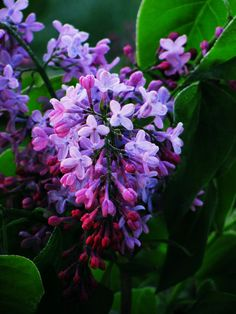 Lilacs are soooo beautiful and they mark the coming of Spring!!