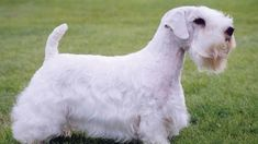 Sealyham Terrier : chien et chiot. Puppies That Dont Shed, Dog Breeds That Dont Shed, Small Dog Breeds, Sealyham Terrier, Best Small Family Dogs, Hyper Dog, Dog Tumblr, Samoyed Dogs, Dog Food Brands