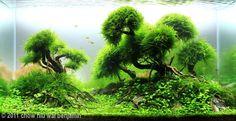 """I want to try my hand at this type of aquascape. Love the lush """"trees"""". Makes my tanks look homely lol"""