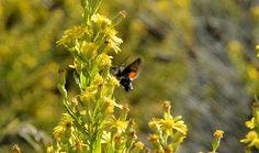 Mariposa colibrí