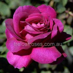 Big Purple - Standard - Treloar Roses - Premium Roses For Australian Gardens