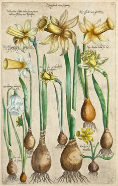 The Antiquarium - Antique Print & Map Gallery - Emanuel Sweert - Narcissus medio Hand-colored copperplate engraving Vintage Flower Prints, Vintage Botanical Prints, Botanical Drawings, Antique Prints, Botanical Art, Vintage Flowers, Nature Illustration, Botanical Illustration, Look Vintage