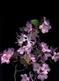 55239.01 Rhododendron 'Aglo', Rhododendron schlippenbachii