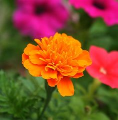 8 Easy Flower Seeds You Can Sow in Your Garden in June to Bloom This Autumn
