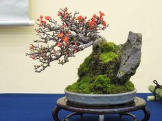 Buenas Una especie que me encanta y es difícil ver árboles por aquí de la calidad de estos japoneses... Saludos