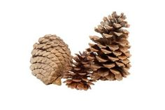 How to get closed pinecones to open, decorating with them for the holidays