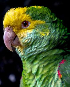 Yellow fronted amazon