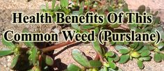 A common wee that we just pull out or ignore may help us become healthy. Learn more here. http://www.extremenaturalhealthnews.com/health-benefits-of-this-common-weed-purslane/