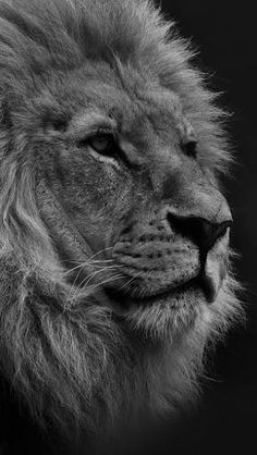 Resultado de imagen para lion wallpaper tumblr Lion Wallpaper, Mobile Wallpaper, Mobile Computing, Smartphone, Big Cats, Lions, Wildlife, Animals, Tattoo Ideas