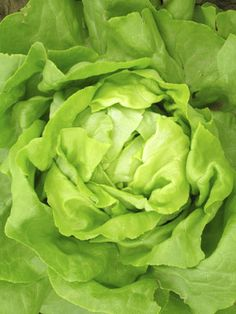 Buttercrunch Lettuce -easy lettuce to grow