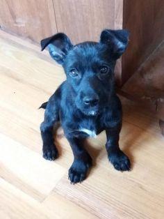 Hund Welpe Zwergschnauzer Dackel Mischling Hundin 3 Monate
