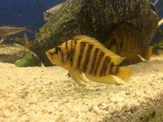 Altolamprologus Compressiceps Chaitika  yellow