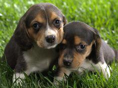 Montenegrin Mountain Hound puppies