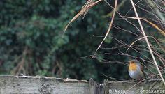 #roodborstje #vogel #bird