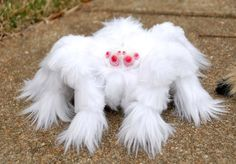 Tarentule albinos, white furry Tarantula.  I don't know whether this spider is creepy or cute.