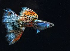Want to learn more about Fancy Guppy? Check out the Fancy Guppy Wiki and if they are right for your aquarium. Fancy Guppy for sale