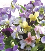 "VIOLA MEMORIES ""Lovely country mixture of all the Violets we could find in shades of blue, pink and white - many with a heavenly scent."""