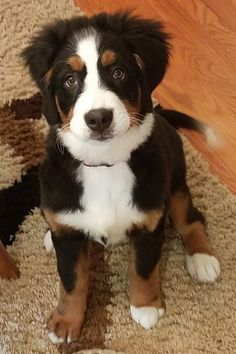 4 month old Bernese puppy