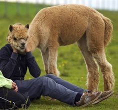 One Alpaca Head, two bodies. | 24 Animal Pictures You Have To Look At Twice