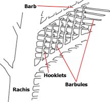 microscopic anatomy of a feather showing barbules and hooklets