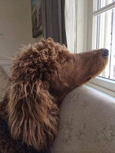 Sweet Poodle catching a bit of light in the window. #Poodle