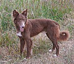 Cão do Barrocal Algarvio
