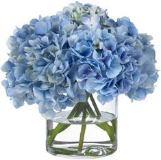 Diane James Heavenly Blue Hydrangeas