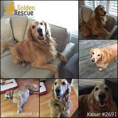 AVAILABLE FOR ADOPTION ~ KAISER #2691 Hi everyone…my name is Kaiser and I'm around three years old (maybe a tad older). I have been described as sweet, loving, and affectionate. I love people, children, other dogs ~ everyone actually! I know my commands and I'm not bad on the leash except I love to sniff EVERYTHING. I don't bark much. Loud noises don't bother me and you can leave me alone if you have to out without me. I am gentle with treats and love to be touched anywhere.