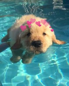 The cutest puppy ever trying to swim! Hope this video brighten up your day . Video by: take a look at thei… Cute Funny Animals, Cute Baby Animals, Funny Dogs, Animals And Pets, Funniest Animals, Wild Animals, Perros Golden Retriever, Baby Golden Retrievers, Cutest Puppy Ever