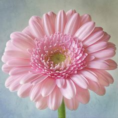 Gerbera Daisy - Happy Face, by Jacky Parker on Amazing Flowers, My Flower, Pretty In Pink, Pink Flowers, Flower Power, Paper Flowers, Beautiful Flowers, Gerbera Flower, Pink Gerbera