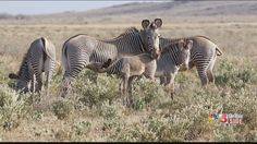 Saint Louis Zoo keepers went to Kenya to help in the Great Grevy's Rally census count. See their story by KSDK Show Me St. Louis.