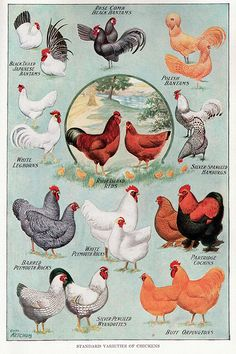 Vintage Poster of Standard Breed Varieties of Chickens   ...........click here to find out more     http://googydog.com