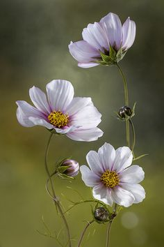 African flower known as Cosmos | Kosmos Fleure africaine connue sous le nom Kosmos #WildFlowers