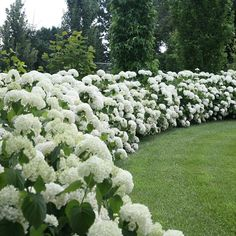 Incrediball® – Smooth Hydrangea – Hydrangea arborescens Like 'Annabelle', but better. Incrediball® hydrangea has massive blooms and strong stems to hold them up – even after a rain storm. Smooth Hydrangea, White Hydrangeas, White Flowers, White Hydrangea Garden, Hydrangea Care, Limelight Hydrangea, Large Flowers, Oak Leaf Hydrangea, Small Gardens