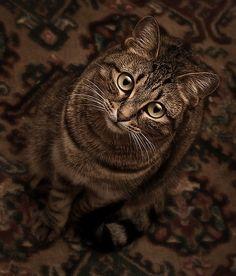 "Gray Tabby ~ So Sweet, Looks Like My Son's Kitty ""Rascal"" ..."