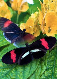 Red Banded Pereute Butterflies by Vaughn Garner