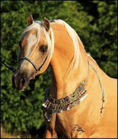 ABLUE MOON RISING (AU) 2006 13.2hh Palomino Part Welsh, 64% Arabian Pony. SK Shakla Khan (imp USA) {Sanadik El Shaklan x Sun King Raindrop by Hilglor Rainmaker} x Kim-Dande Stormgirl {Cherrington Sir Jason x Echo of Love by Amaranda Whakatane} Bred and owned by Dee and Nicola Kelly, Ablue Moon Arabian Ponies and Galloways, Victoria, Australia. **Zing is unshown due to the scarring he suffered as a result of his broken nose and jaw** [Photo by Ablue Moon Images] Jason X, Broken Nose, Moon Images, Arabian Horses, Victoria Australia, Palomino, Art Reference, Pony, Champagne