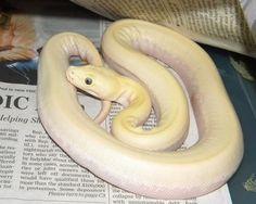 The Burmese Python Morph List - Reptile Forums Burmese Python, Cute Snake, Shadow Dragon, Beautiful Snakes, Ball Python, Albino, Lizards, Noodles, Exotic